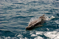 Dolphins often follow the boat since the passengers and crew given them food