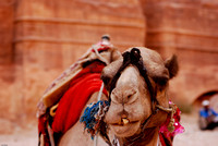 Camel pulling a face